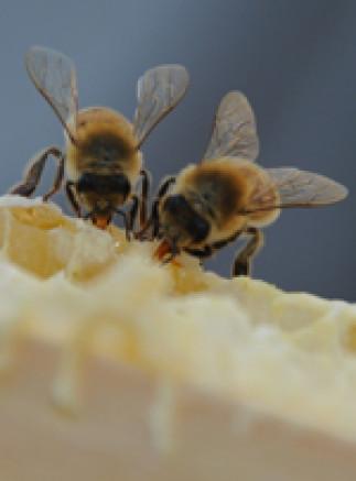 Introduction à l'apiculture